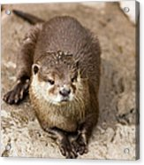 Cute Otter Portrait Acrylic Print