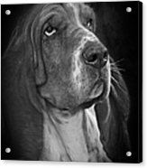 Cute Overload - The Basset Hound Acrylic Print by Christine Till