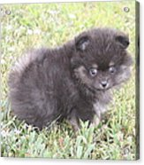 Cute Puppy Acrylic Print