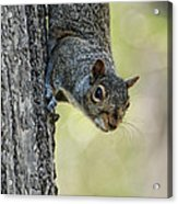 Cute Squirrel  Dare Me Acrylic Print