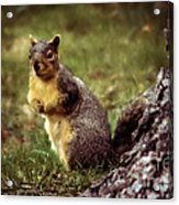 Cute Squirrel Acrylic Print by Robert Bales
