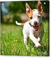 Cute Stafford Puppy Running On Field Acrylic Print