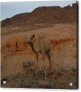 Cute Young Camel Desert Sinai Egypt Acrylic Print