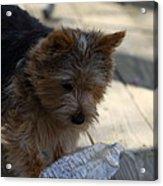 Cutest Dog Ever - Animal - 011311 Acrylic Print by DC Photographer