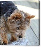 Cutest Dog Ever - Animal - 011313 Acrylic Print by DC Photographer