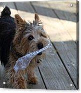 Cutest Dog Ever - Animal - 01135 Acrylic Print by DC Photographer