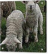 Cutest Lamb Ever Acrylic Print