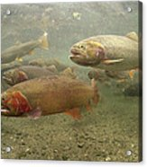 Cutthroat Trout In The Spring Idaho Acrylic Print by Michael Quinton