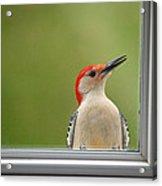 Cw My Crazy Woodpecker Acrylic Print