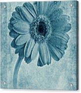 Cyanotype Gerbera Hybrida With Textures Acrylic Print