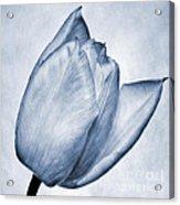 Cyanotype Tulip Acrylic Print