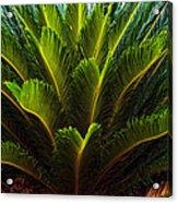 Cycad Sago Palm Acrylic Print