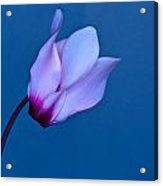 Cyclamen On Blue Acrylic Print