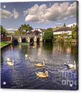Cygnets At Christchurch  Acrylic Print