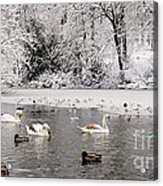 Cygnets In Winter Acrylic Print
