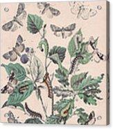 Cymatophoridae - Acronyctidae Acrylic Print