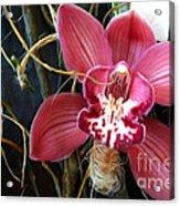 Cymbidium Flower Acrylic Print