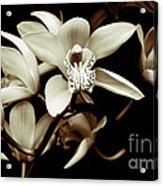 Cymbidium Orchids Acrylic Print