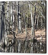 Cypress Bog Acrylic Print