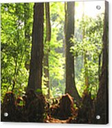 Cypress Forest Acrylic Print