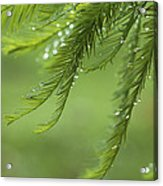 Cypress In The Mist - Art Print Acrylic Print