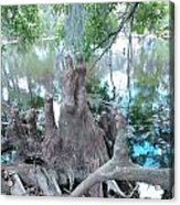 Cypress Knee Family Acrylic Print