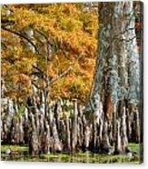 Cypress Knees In Fall Acrylic Print