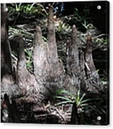 Cypress Knees Acrylic Print
