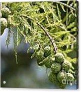 Cypress Nuts Acrylic Print