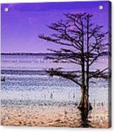 Cypress Purple Sky 2 Acrylic Print