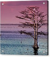 Cypress Purple Sky Acrylic Print
