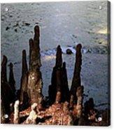 Cypress Roots Acrylic Print