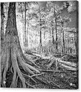 Cypress Roots In Big Cypress Acrylic Print