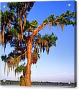 Cypress Tree Draped In Spanish Moss Acrylic Print