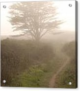 Cypress Tree In The Edge Of A Coastal Fog Acrylic Print