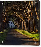 Cypress Tree Tunnel Acrylic Print