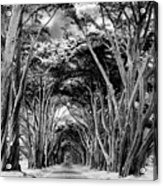 Cypress Tree Tunnel Point Reyes Acrylic Print