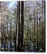 Cypress Trees Acrylic Print by April Wietrecki Green