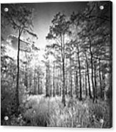 Cypress Trees In Big Cypress Acrylic Print