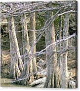Cypress Trees Acrylic Print
