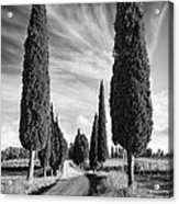 Cypress Trees - Tuscany Acrylic Print