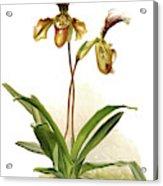Cypripedium Hybridum Calypso, Sander Acrylic Print