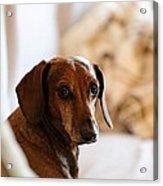 Dachshund Portrait Acrylic Print