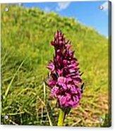 Dactylorhiza Orchid Acrylic Print