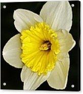 Daffodil 2014 Acrylic Print