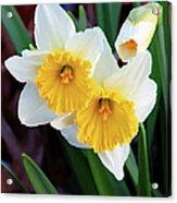 Daffodil Art  Acrylic Print