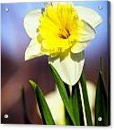 Daffodil Blossom Acrylic Print