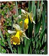 Daffodil Buddies Acrylic Print