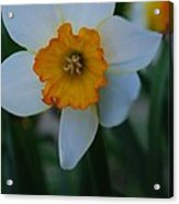 Daffodil Close Up Acrylic Print