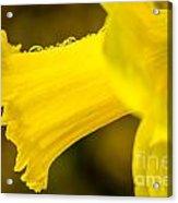 Daffodil Dewdrops Acrylic Print